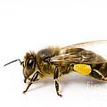 Honeybee by Mark Bowler