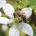 Honeybee On A Blackberry Blossom by Lucinda VanVleck