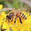 Honeybee On A Dandelion by Lucinda VanVleck