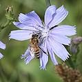 Honeybee On Chicory by Lucinda VanVleck