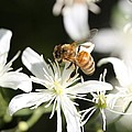 Honeybee On Clematis by Lucinda VanVleck