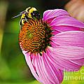 Honeybee On Echinacea Flower by Walter Herrit