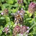 Honeybee On Heal All by Lucinda VanVleck