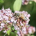 Honeybee On Oregano by Lucinda VanVleck