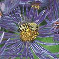 Honeybee On Purple Aster by Lucinda V VanVleck