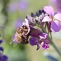 Honeybee On Purple Wall Flower by Lucinda VanVleck