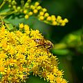 Honeybee On Yellow by M Dale