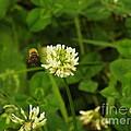 Honeybee Visit by Jennifer Schafer