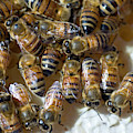 Honeybees by Louise Murray/science Photo Library