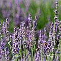 Honeybees On Lavender Flowers by Catherine Sherman