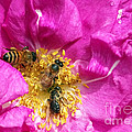 Honeybees On Pink Rose by Sharon Talson