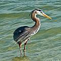 Honeymoon Island Heron by Stephen Whalen