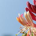 Honeysuckle And Sky by Renee Croushore