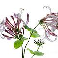 Honeysuckle Blossom by Ann Garrett