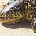 Honu - Hawaiian Sea Turtle Hookipa Beach Maui Hawaii by Sharon Mau