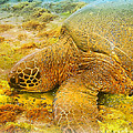 Honu  Sea Turtle by Dorlea Ho