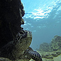 Honu Territory by Brad Scott