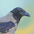 Hooded Crow by Jivko Nakev
