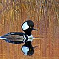 Hooded Merganser At Sunset by MTBobbins Photography