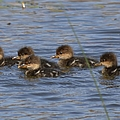 Hooded Merganser Babies by Bonfire Photography