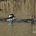 Hooded Merganser Couple by Patti Smith