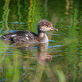 Hooded Merganser Duckling by Amy Porter