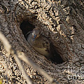 Hooded Merganser In The Knot Hole  by Lori Tordsen
