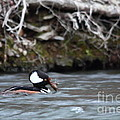Hooded Merganser by Wonders of Nature Photography