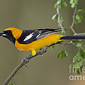 Hooded Oriole by Anthony Mercieca