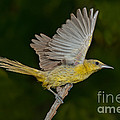 Hooded Oriole Hen At Take by Anthony Mercieca