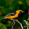 Hooded Oriole Male by Anthony Mercieca