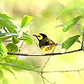 Hooded Warbler - Img_9274-007 by Travis Truelove