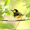 Hooded Warbler - Img_9274-009 by Travis Truelove