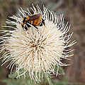 Hooker's Thistle With Bumblebee by Kent Becker