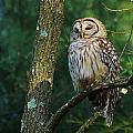 Hootie Barred Owl by William Fox