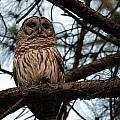 Hootie The Barred Owl A by Peggy Valouch