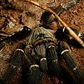 Hornback Baboon Spider by Tracey Beer