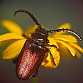 Horned Beetle by Douglas Barnett
