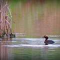 Horned Grebe by Marcus Moller