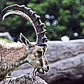 Horned Sheep by Alice Gipson