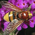 Hornet Mimic Hoverfly by Science Photo Library