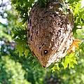 Hornets Nest by Karen Silvestri