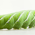 Hornworm by John Crothers
