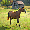 Horse And Old Barn In Etowah by Duane McCullough