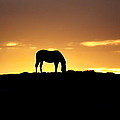 Horse At Sunrise by Alan Hutchins