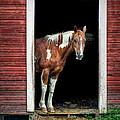 Horse - Barn Door by Nikolyn McDonald