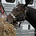 Horse Eating Hay by Amy Cicconi