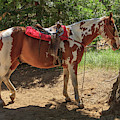 Horse For Rent South Lake Tahoe by Tom Norring