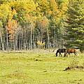 Horse Grazing In Field Autumn Maine by Keith Webber Jr