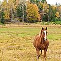 Horse In Field-fall by Cheryl Baxter